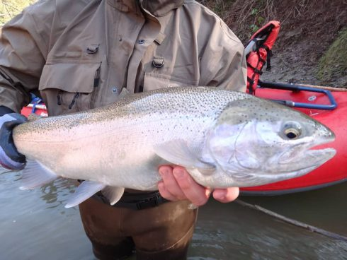 A fresh run steelhead