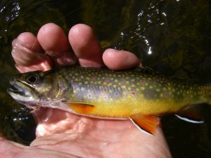 Ontario Brook Trout