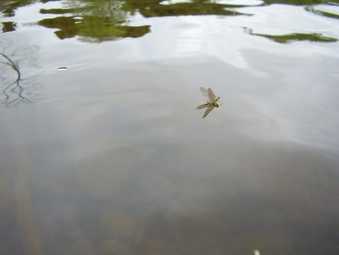 Dry fly fishing in Ontario