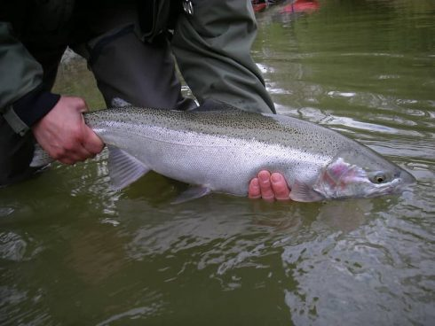 A nice fall steelhead