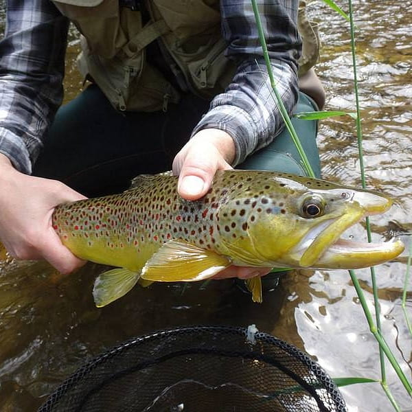 Fishing the Credit River can be good for brown trout like this one.