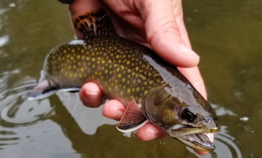 Best time to brook trout fish in Ontario is in April, May, and June