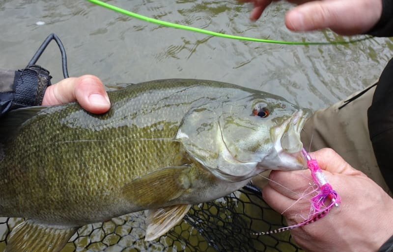 Fly fishing for river bass in Ontario can be a ton of fun