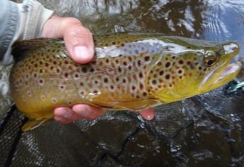 A Humber River Brown trout