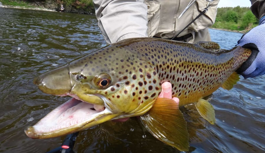 A large Ontario brown trout rom shallow water