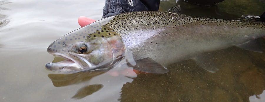 An average size Saugeen River steelhead